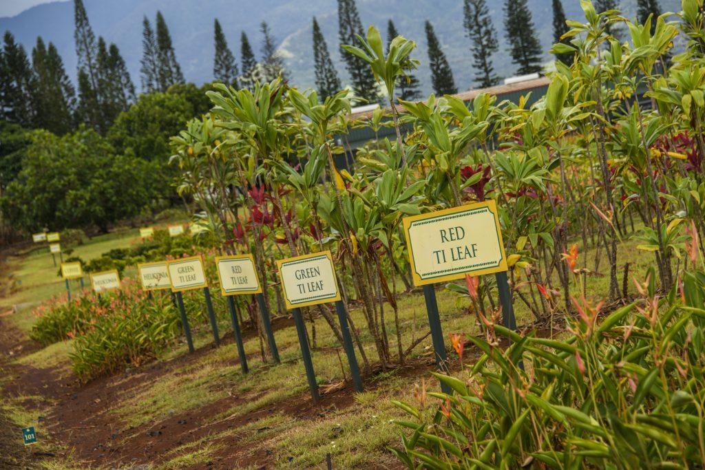 ハワイ 農園 パイナップル